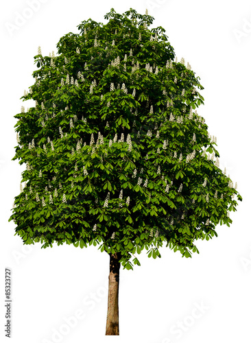 Aesculus hippocastanum (Rosskastanie) Freigestellt,isoliert