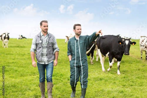 Farmer and veterinary working together in a masture with cows Fototapeta