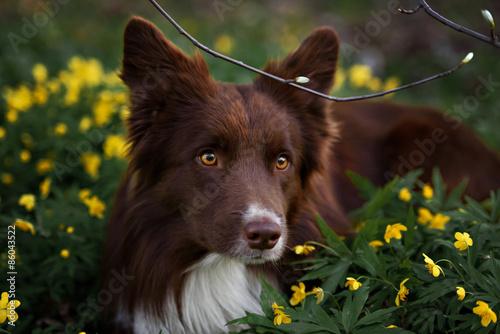 Cuadros en Lienzo happy brown dog border collie portrait in summer