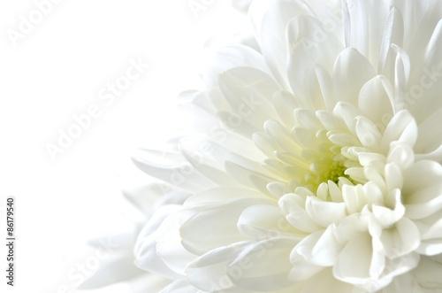 Leinwand Poster Weißer chrysantrum weißer Hintergrund