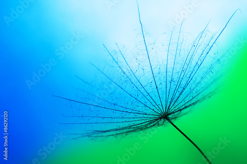 close up of dandelion on the blue background #86292120