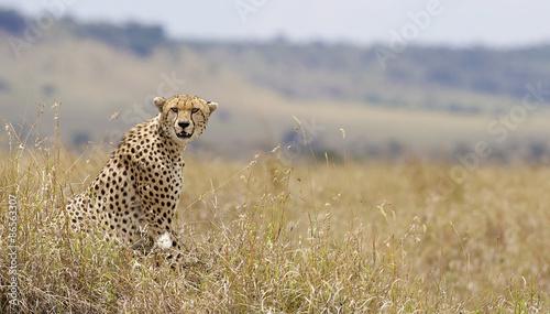 Wild cheetah in Kenya