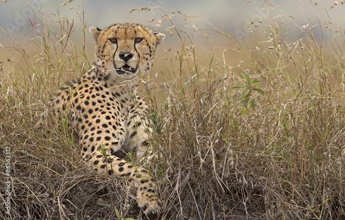A wild Cheetah in long grass #86563312