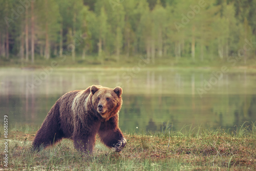Canvas Print Big male bear walking in the bog at sunset