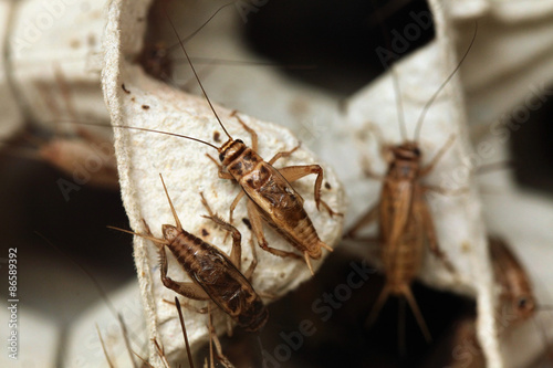 House cricket (Acheta domestica).