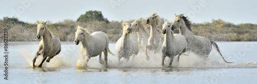 Fototapeta Stádo Bílé Camargue koně běží přes vodu