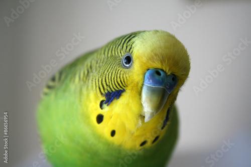 Stampa su Tela Green and yellow male parakeet stock photo