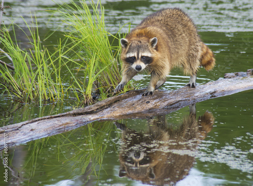 Canvas Print Water reflections of a raccoon fishing for snails from a log.