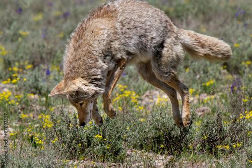 Photo coyote pouncing