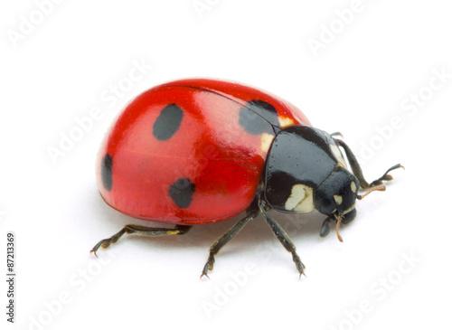 Ladybug isolate on white background