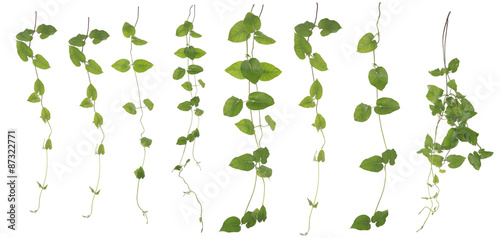 Leinwand Poster Collected Merremia hederacea isolated on white background