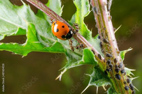 Marienkäfer in Blattlauskolonie, Angriff von Ameisen