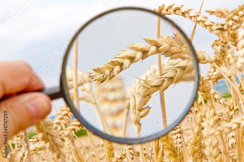 Valokuva Weizen untersuchen - Wheat control