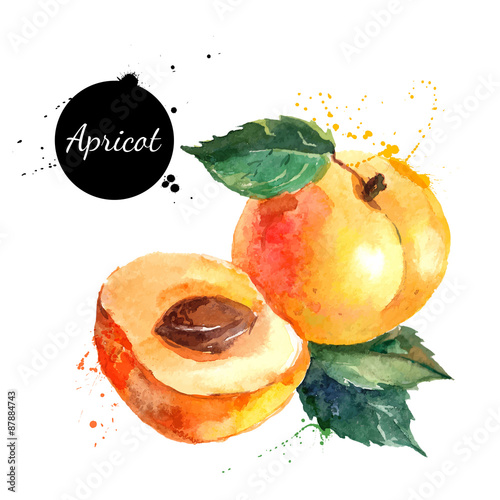 Cuadros en Lienzo Hand drawn watercolor painting apricot on white background
