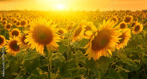 Fotografie, Obraz Sunny sunflowers