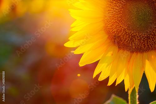 Obraz na plátně Slunečnice