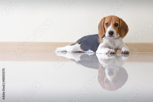 Photo Portrait cute beagle puppy dog