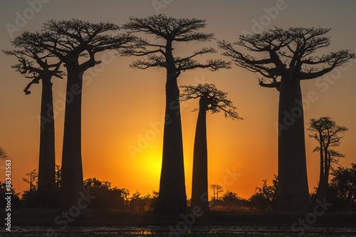 Baobab trees (Adansonia Grandidieri) at sunset, Morondava, Toliara province, Madagascar #88343563