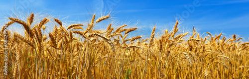 Fotografia Wheat