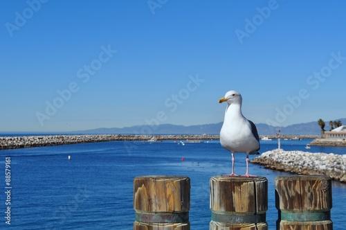 Photo California seagull