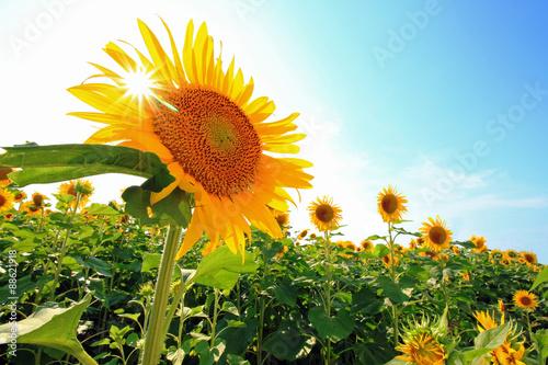 夏空にひまわりに太陽