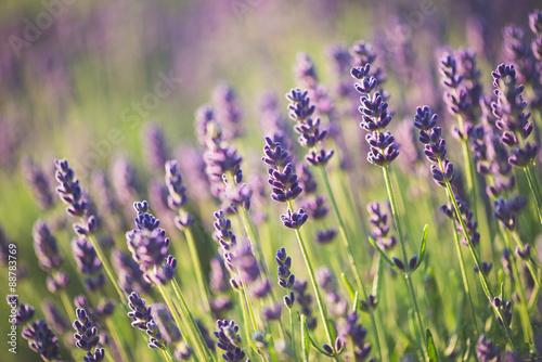 Lavender #88783769