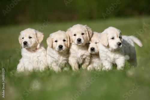 Photo Litter of five golden retriever puppies