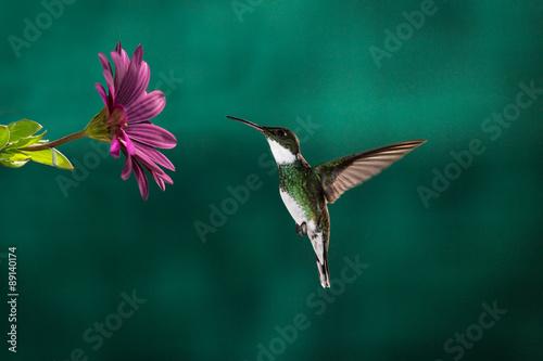 Carta da parati A little hummingbird chassing its meal