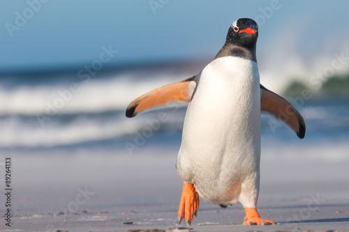 King Penguin (Aptenodytes patagonicus) Chicks in Creche in the rain.