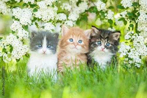 Fototapeta Three little kittens sitting near white flowers