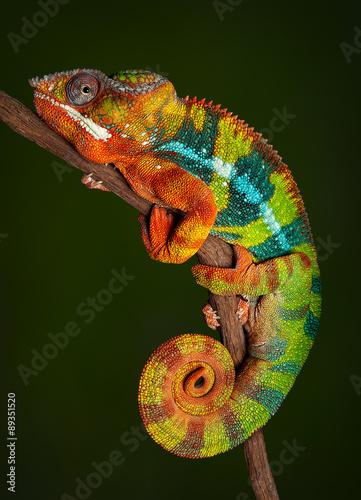 Panther Chameleon at rest #89351520