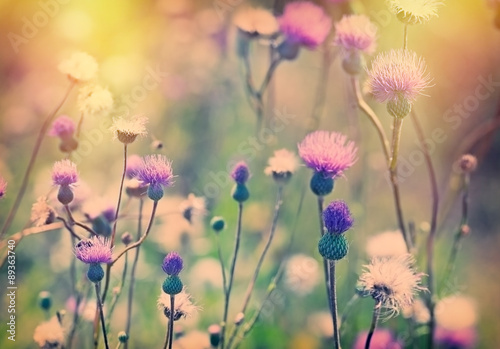 Obraz na płótnie Thistle - burdock (flower) lit by sunlight