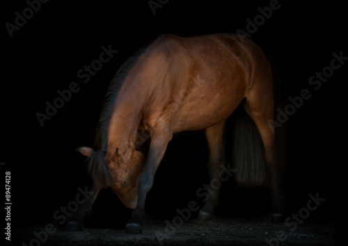 Cuadros en Lienzo horse is making reverence, black background