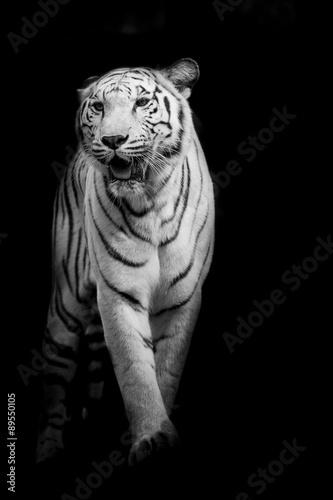 White tiger walking isolated on black background