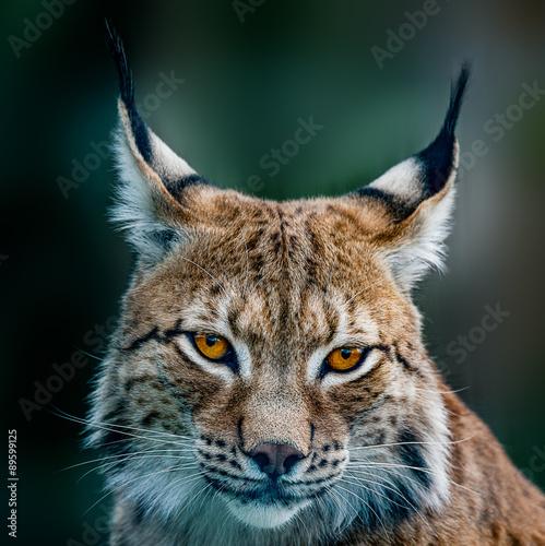 Fototapeta Siberian lynx