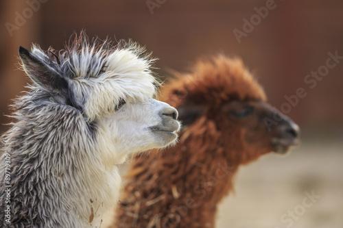 Canvas Print alpaca