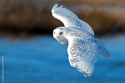 Canvas Print Snowy Owl in Flight over Blue Water