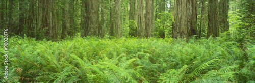 This is the Jedediah Smith Redwood State Park. It shows the giant old growth redwoods, which are around 2500 years old. There are ferns growing all around them. #90028176