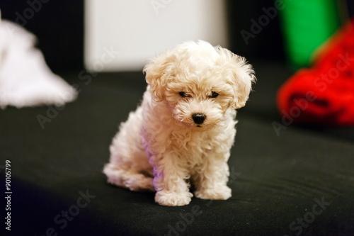 Fotografering bichon frise puppy