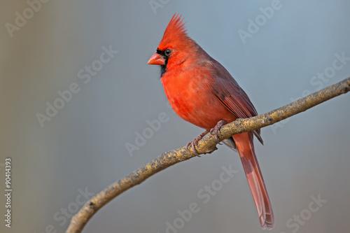 Vászonkép Male Northern Cardinal sitting on a Branch.