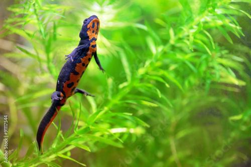 Fototapeta Chinese fire belly newt