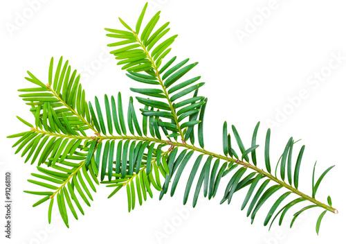 Obraz na płótnie yew twig isolated on white background