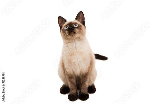 Canvas Print Siamese cat isolated