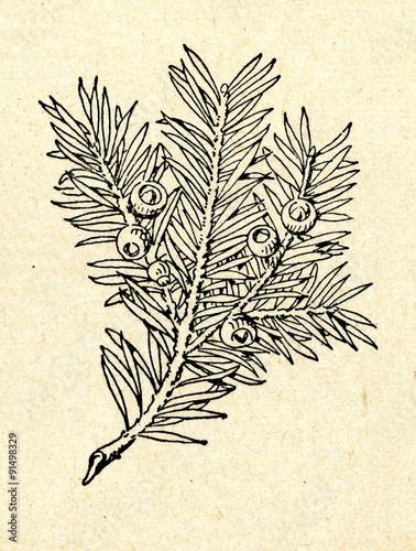 Fotografia European yew (Taxus baccata) shoot with cones