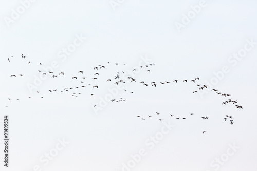 Bird migration of geese on the sky