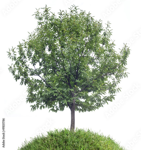 Chestnut Tree Cutout