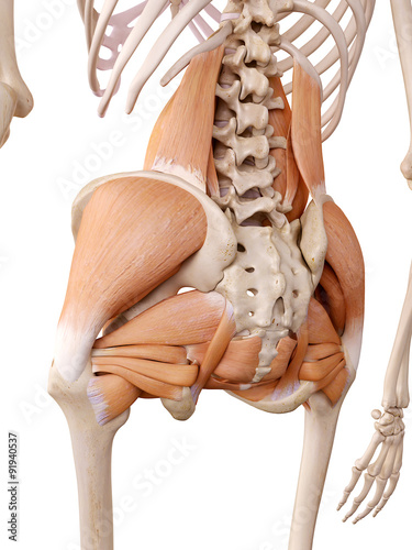 Photo medically accurate anatomy illustration - hip muscles