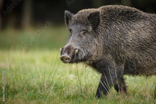 Obraz na plátne Wild boar close up