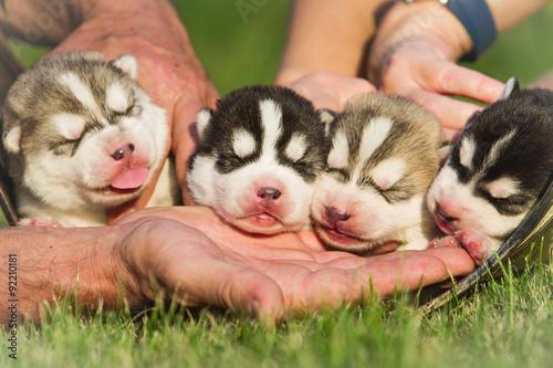 Four puppies Siberian Husky Fototapeta