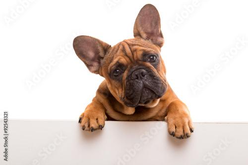 Wallpaper Mural French Bulldog puppy